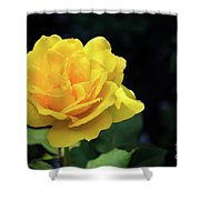 Yellow Rose - Full Bloom Shower Curtain