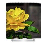 Yellow Rose Of Los Gatos Shower Curtain
