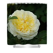 Yellow Rose Of Texas Too...   # Shower Curtain
