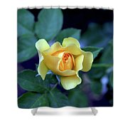 Yellow Rose With Purple Contrast 0357 H_2 Shower Curtain