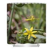 Yellow Star-of-bethlehem Shower Curtain