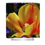 Yellow Tulip Blossom Streaked  With Red In The Spring Shower Curtain