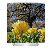 Yellow Tulips In The Public Garden Boston Ma Shower Curtain