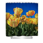 Yellow Tulips With An Orange Flare Shower Curtain
