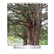 Yew Tree Entrance Shower Curtain