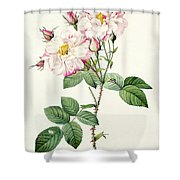 York And Lancaster Rose Shower Curtain by Pierre Joseph Redoute