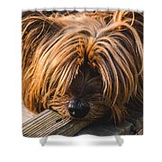 Yorkshire Terrier Biting Wood Shower Curtain