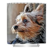 Yorkshire Terrier Dog Pose #2 Shower Curtain