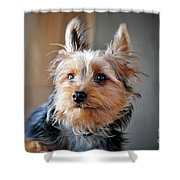 Yorkshire Terrier Dog Pose #3 Shower Curtain