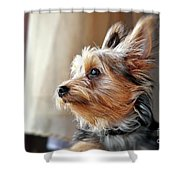 Yorkshire Terrier Dog Pose #5 Shower Curtain