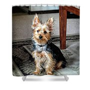 Yorkshire Terrier Dog Pose #6 Shower Curtain
