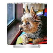 Yorkshire Terrier Dog Pose #8 Shower Curtain