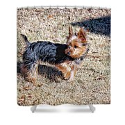 Yorkshire Terrier Dog Pose #9 Shower Curtain