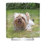 Yorkshire Terrier Is Smiling At The Camera Shower Curtain