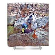 You Go First - Male And Female Mallard Ducks Shower Curtain