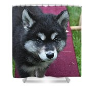 Young Alusky Puppy Standing On A Teeter Totter Shower Curtain