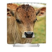 Young Calf In A Pasture Shower Curtain