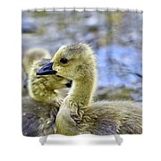 Young Canadain Goose Shower Curtain