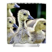 Young Canadian Goose Goslings Shower Curtain