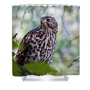 Young Cooper's Hawk Shower Curtain