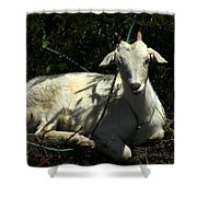 Young Goat Next To A Bush Shower Curtain