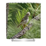 Young Lark Sparrow 3 Shower Curtain