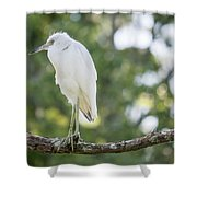 Young Little Blue Heron Shower Curtain