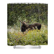 Young Male Moose Shower Curtain