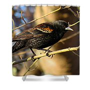 Young Male Red-winged Black Bird Shower Curtain