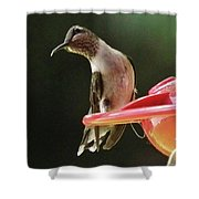Young Male Ruby-throated Humminngbird Shower Curtain