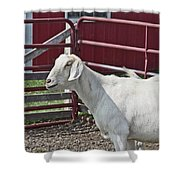 Young Old Goat White And Grayish Red Fence And Gate Barn In Close Proximity 2 9132017 Shower Curtain