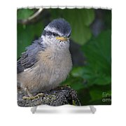 Young Red-breasted Nuthatch No. 1 Shower Curtain