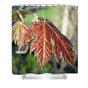 Young Red Maple Leaf In May Shower Curtain