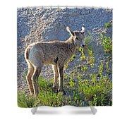 Young Rocky Mountain Bighorn Sheep Shower Curtain