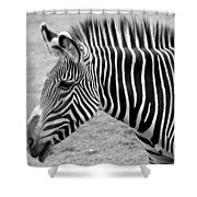 Zebra - Here It Is In Black And White Shower Curtain