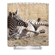 Zebra Foal Rolls In Dust On Savannah Shower Curtain