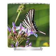 Zebra Swallowtail Butterfly On Phlox Shower Curtain