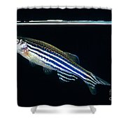 Zebrafish Danio Rerio Shower Curtain