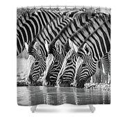 Zebras Drinking Shower Curtain