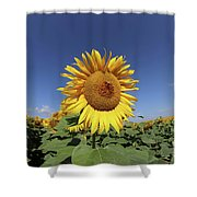 Bee On Blooming Sunflower Shower Curtain