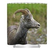 Stone's Sheep Shower Curtain