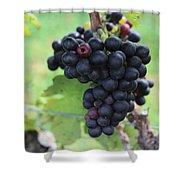 Purple Grape Bunches 17 Shower Curtain