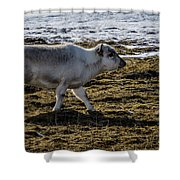 Svalbard Reindeer Shower Curtain