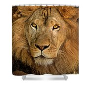 656250006 African Lion Panthera Leo Wildlife Rescue Shower Curtain by Dave Welling