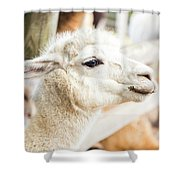 Alpaca In A Field. Shower Curtain by Rob D Imagery