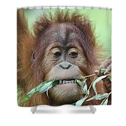A Close Portrait Of A Young Orangutan Eating Leaves Shower Curtain
