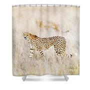 A Pair Of Cheetahs Move Steathily Through The Long Grass Of The  Shower Curtain
