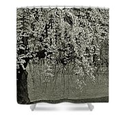 A Single Cherry Tree In Bloom Shower Curtain