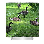 An Afternoon With Canada Geese Shower Curtain