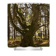 ancient tree in forest near Greenlawin Scottish Borders Shower Curtain